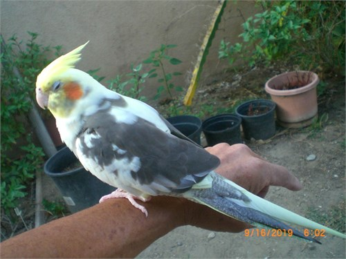 Handfed cockatiel