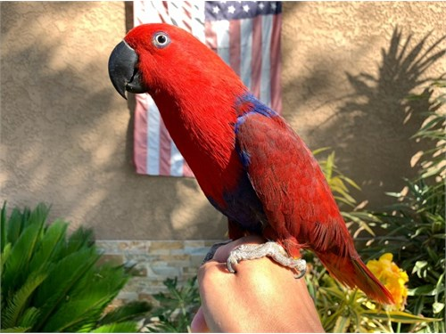 Hand-tame Eclectus