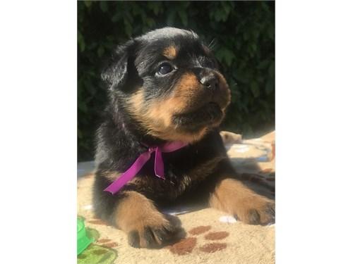 Rottweiler Puppies!!
