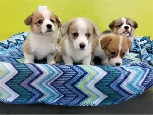 Welshi Corgi Puppies