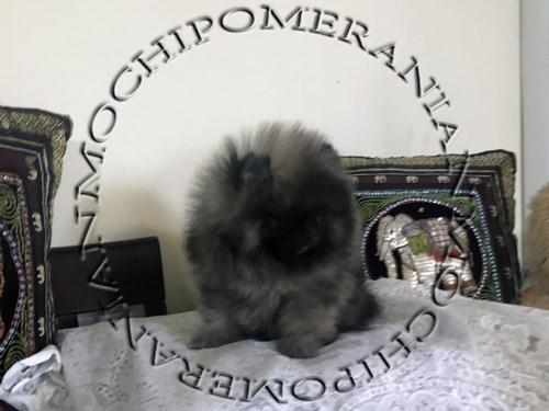 AKC Male Pomeranian