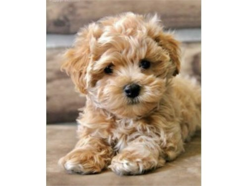 TINY MALTIPOO PUPPIES