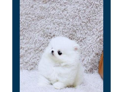 Sweet T-cup Pomeranians
