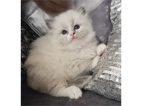Sweet Ragdoll kittens..