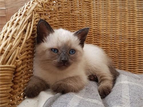 Pedigree Snowshoe Kittens