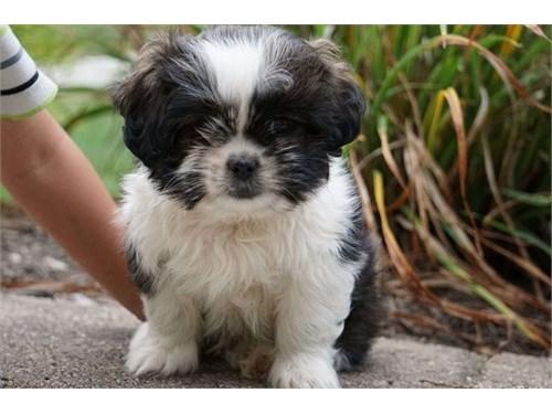 CTIYU Shih Tzu Puppies Fo