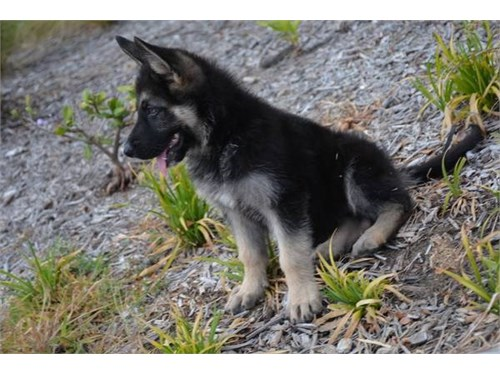 Gufd German Shepherd Pups