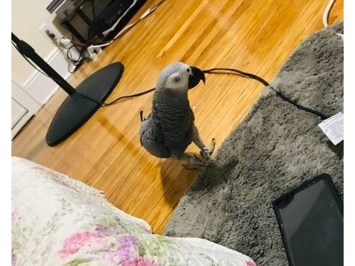 Tamed African Grey Parrot
