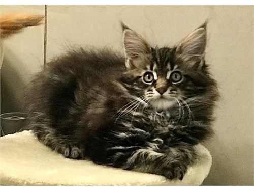 Sincere Maine coon kitten