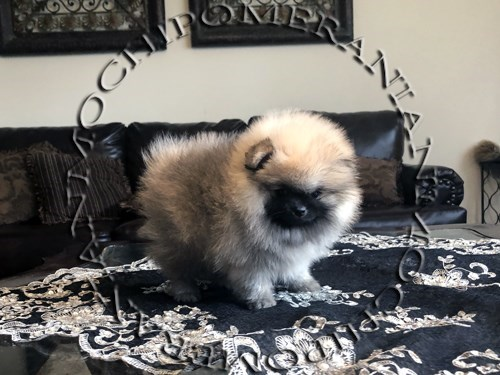 AKC Teacup Sable Male Pom