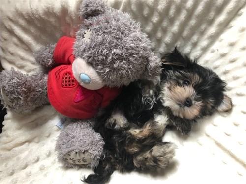 Tiny Morkie Boy pups