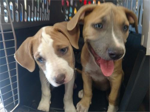 Beautiful pit puppies