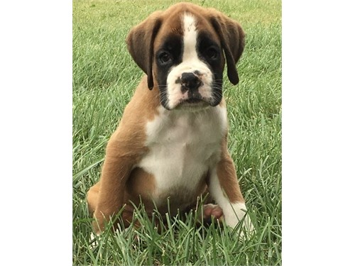 Affectionate Boxer pup