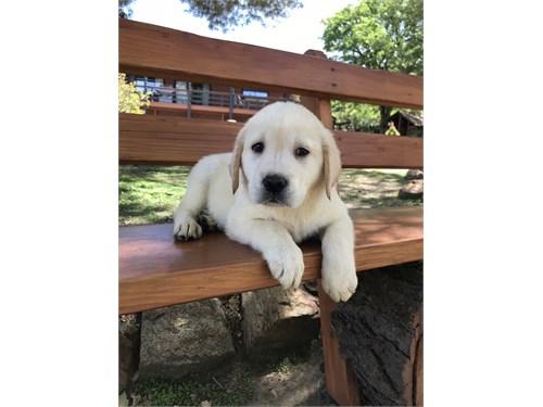 Labrador Puppies purebred