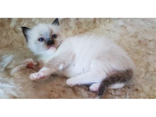 Ragdoll Kittens!!