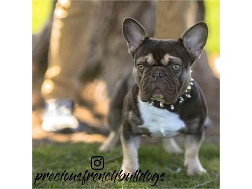 French Bulldog Stud Servi
