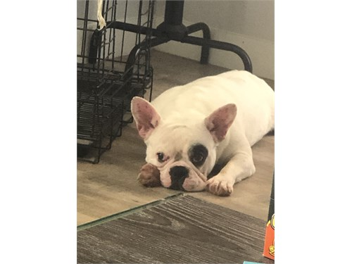 Frenchie For Sale