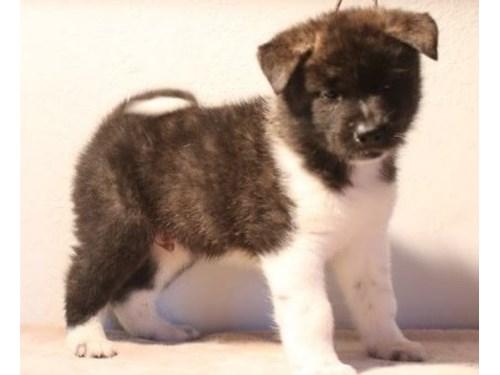 Champion Akita Puppies
