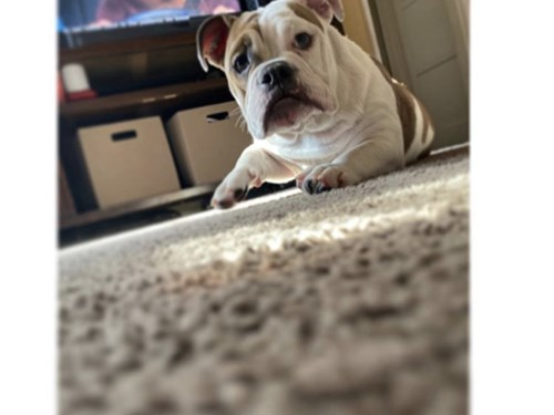AKC  English bulldog pup