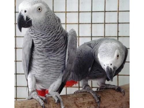 African grey parrot pair