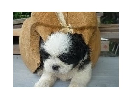 Awesome Shih tzu puppies