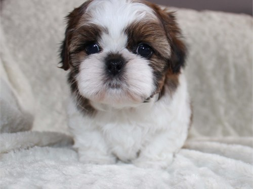 Adorable shih-tzu puppies
