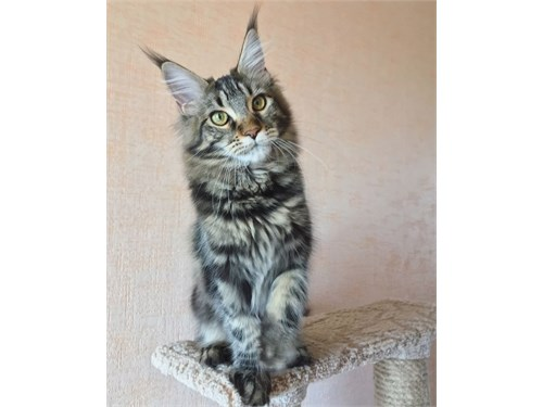 maine coon kittens