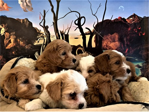 MALTIPOO PUPPIES ADORABLE