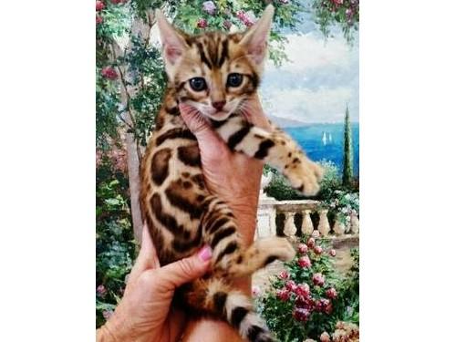 Gorgeous Bengal kittens!