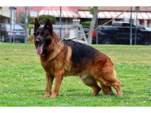 German shepherd STUD