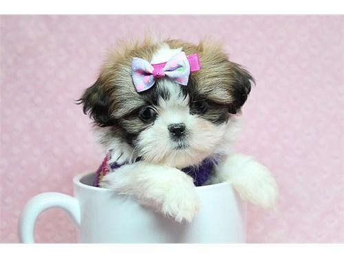 Teacup & Toy Shih Tzu pup