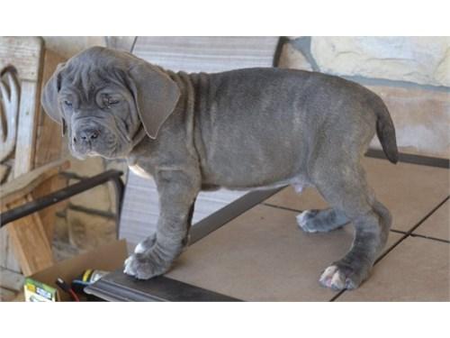 Neapolitan Mastiff Pups