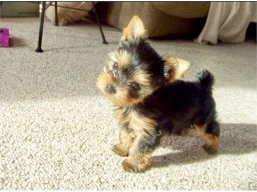 YORKIES PUPPIES FOR SALE