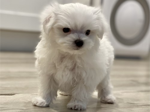 Pure White Maltese Boy