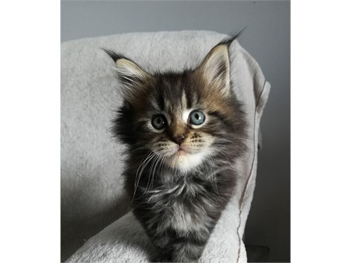 Maine Coon Kittens Ready