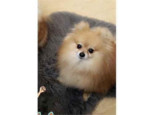 STUD AKC Pomeranian