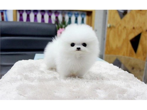 playful Pomeranian puppie