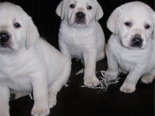 AKC English White  Labs