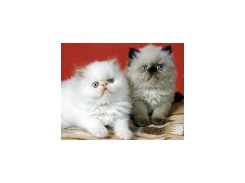 Himalayan kittens home