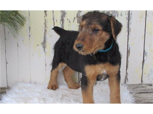 2 Airedale Terrier Pups