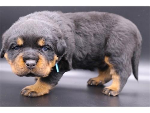 German Rottweiler puppies