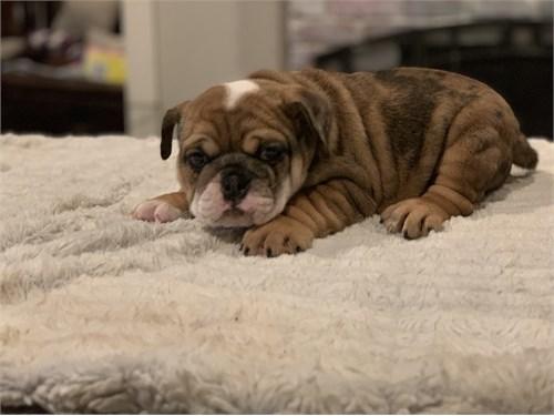 Merle English Bulldog