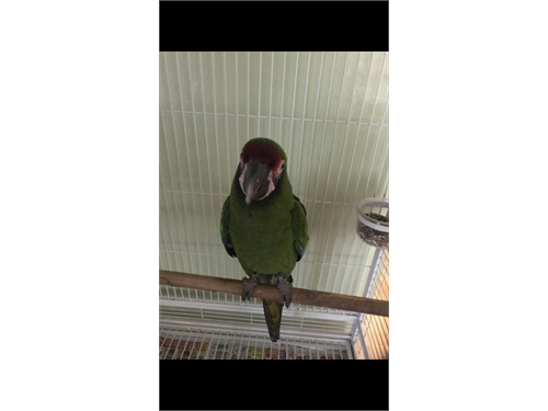 Male macaw for sale