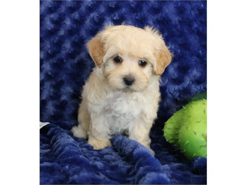 Toy size male maltipoo