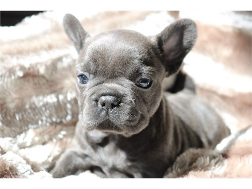 Blue Frenchies Ready Soon