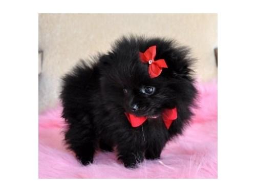 Adorable Pomeranian Pups