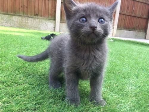Russian blue kitten ready
