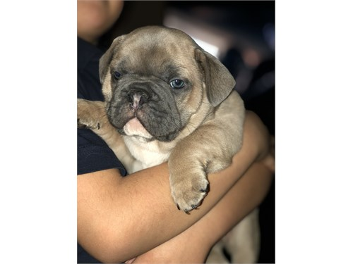 French bulldog Akc