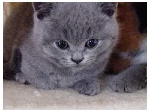 British Shorthaired Kitte