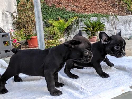 Black Frenchie puppy